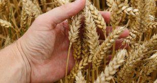 Siyez Buğdayı Nedir? Faydaları Nelerdir? Gluten Bulunur mu?