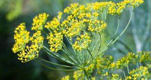 Rezene Bitkisi Nedir? Rezene Çayı Kullanımı ve Faydaları Nelerdir?